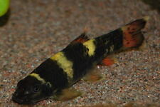 GARRA FLAVATRA ** PANDA GARRA ** ALGAE EATING TROPICAL FISH LOACH