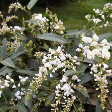 HARDENBERGIA violacea alba (Shrub Form) Seeds (N 365)