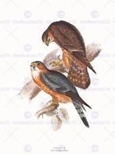 PAINTING BIRDS GOULD MERLIN PAIR 12x16'' ART PRINT POSTER LAH559B
