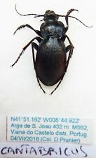 Carabus mesocarabus lusitanicus cantabricus (male A1) from SPAIN