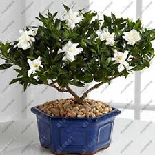 100pcs Gardenia Cape Jasmine DIY Home Garden Potted plants amazing smell beauty