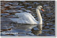 Mute Swan - NEW Animal Wildlife POSTER