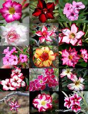 RARE ADENIUM MIX flowering exotic desert rose caudex bonsai mixed seed 5 seeds