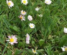 300 semi Wilde Lupino-arbusti Lupino-API pascolo Lupinus perennis