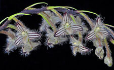 MOS. Orchid Species Bulbophyllum lindleyanum (small seedling, rare)