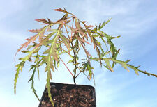 CUT LEAVED Japanese Maple Acer palmatum seedling hardy garden tree shade plant