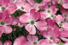 Cornus Florida Rubra Tree 20 Seeds, Pink Flowering Hardy USA Native Dogwood