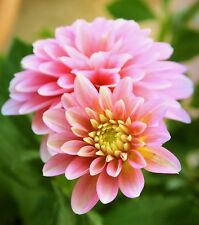 Fairy Flower Seeds Dahlia Early bird dwarf mixed x 50 seeds