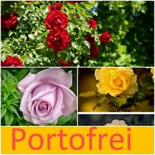 ? 3 verschiedene wintetharte Rosenpflanzen   gelb, rot, lila Garten Balkon ?
