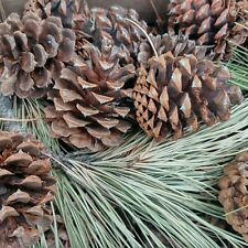 Natural Pinecones From Washington State