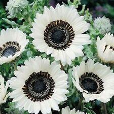 Usa Seller 50 Snow White Sunflower Seeds Plants Garden Planting 50 Pack