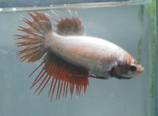 New listing live betta Tropical Fish~Big Female CrownTail Female betta E5 Big Breeder Big