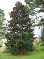 SouthernMagnolia Tree - Flowering Shrub Live Established - 1 Plant in Gallon Pot