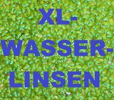 *XL WASSERLINSEN* Schwimmpflanze Algenkiller Aquarienpflanze Teich Wasserpflanze