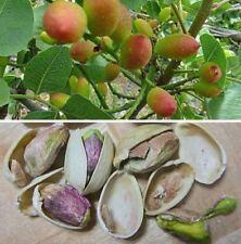 25 Graines de Pistachier , Pistachio – Pistacia vera tree seeds