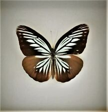 Lot of 2 Pieridae Butterfly Pareronia tritaea tritaea Folded Fast From Usa