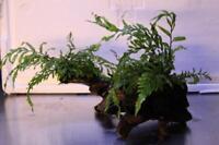 Aquariumwurzel bepflanzt, gewässerte Moorkienwurzel mit Kongo-Wasserfarn ca 15cm