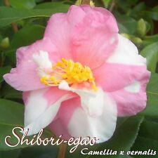 "Kamelie ""Shibori-egao"" - Camellia x vernalis - 3-jährige Pflanze"
