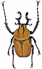 Taxidermy - real papered insects UNMOUNTED :   Dicranocephalus wallichi wallichi