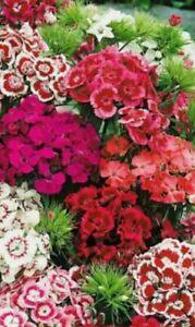 Dianthus Bonsai 100 Seeds Mixed Colour Sweet William Flowers  Garden A