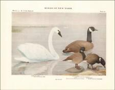 WHISTLING SWAN, CANADA GOOSE, BRANT, BLACK BRANT by Fuertes, antique 1910