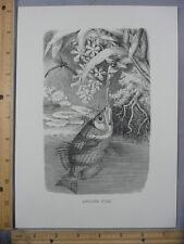 Rare Antique Original VTG Archer Fish Bee Dragonfly Illustration Art Print