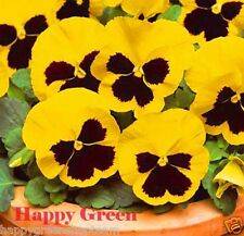 Pansy SWISS - YELLOW with blotch FLOWER - Viola wittrockiana - 550 seeds