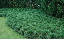 Mondo Grass - Ophiopogon japonicus - Bare Root Divisions -100 Plants / Divisions