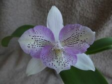 Rare Dialaelia Chantilly Lace `Twinkle` orchid plant FS in bloom