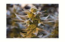 Cannabis Marijuana Leaf Plant Bud Nature Decor THC CBD Print 61x91.5cm