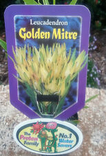 Leucadendron Golden Mitre in 75mm tube (Leucadendron and Protea) cut flower