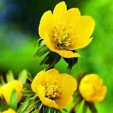 Suffolk Herbs - Wildflower Aconite Winter - 25 Seeds