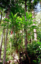 Broad Leaved Palm Lily(Cordyline petiolaris)   10 Seeds