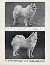 SAMOYED TWO NAMED CHAMPION DOGS OLD ORIGINAL 1934 DOG PRINT