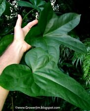 Abelmoschus manihot (aibika, bele) large-leaf form ROOTED cutting