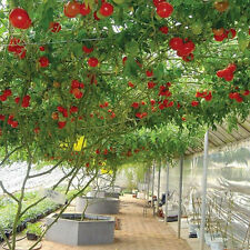 Final Clearance 10pcs Seeds Sweet Huge Tree Tomato Fruit Garden Vegetable Seeds