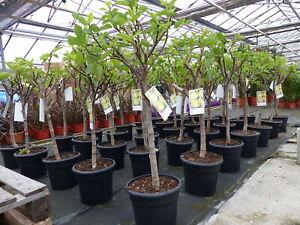 kompakter Feigenbaum 160-180 cm Obstbaum, winterhart, Ficus Carica, Feige