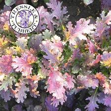 Mostaza rara hierba Dragón Rojo 50 Semillas vendedor del Reino Unido