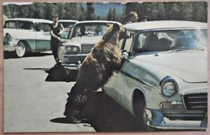 Standing Black Bear Begging For Food Yellowstone National Park, Wyoming Postcard