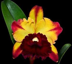 KFON Cattleya Orchid - Rlc. Toshie Aoki 'Starburst' AM/AOS 80mm pot