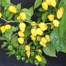Habanero yellow superscharfe Chilli Massenträger Capsicum chinense Chili