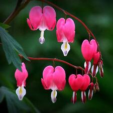 200Seeds Dicentra Lamprocapnos Bonsai Plant House Herb Garden Peony Flower Decor
