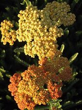 Achillea Terracotta BARE ROOTED perennial plant