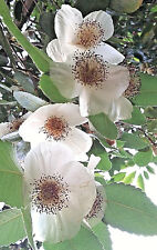 rare tree Brush Bush, EUCRYPHIA GLUTINOSA, hardy flowering shrub plant, scented