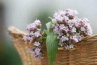 Eine schöne und nützliche Pflanze: der Baldrian - toller Duft im Garten !