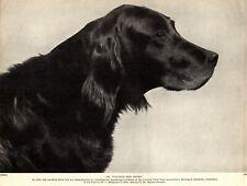 1930s Antique Gordon Setter Dog Print Champion Bydand Miss Sport 3413-M
