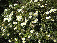 CISTUS SALVIFOLIUS 100 semillas seeds samen Rock Rose blanco white Rock Rosa