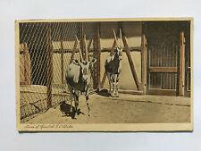 Oryx Gazelle Vintage NL sepia Postkarte 1945