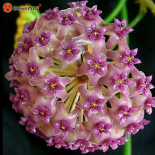 100 Fuchsia Ball Orchid Seeds Hoya Carnosa Seeds Potted Orchid Flower
