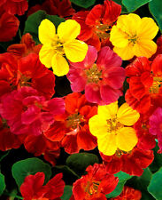 Nasturtium Jewel mixed - Tropaeolum - 40 seeds - HH Annual